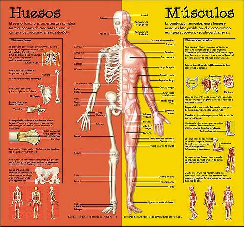 muscuhuesos